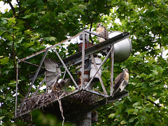 DSC_0837 (rbs10025) Tags: redtailedhawk buteojamaicensis young bird morningsideheights manhattan nyc nest grantstomb generalgrantnationalmemorial