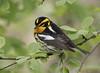 Blackburnian Warbler (Hank Halsey) Tags: hmk42199cr2 blackburnianwarbler mageemarsh ohio hankhalseyphotography