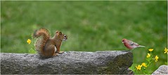 An Encounter (jasamataz) Tags: housefinch redsquirrel stonewall rock buttercup animals bird squirrel