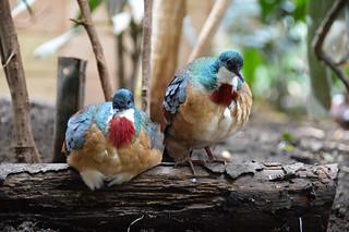Mindanao Bleeding Heart Dove (Gallicolumba crinigera)