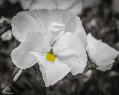 White With A Hint of Yellow (that_damn_duck) Tags: nikon plant nature petals blossom blooming