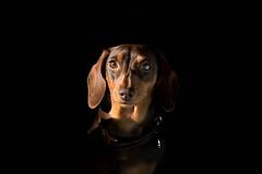 Black (cuppyuppycake) Tags: mymaisie smooth haired miniature dachshund puppy cute adorable maisie portrait dog animalblack background