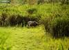 Water Buffaloes (sensatyaki7) Tags: kaziranga canonindia wildlife nature