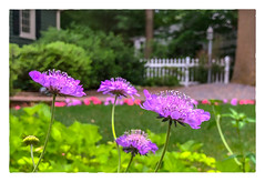 Scabiosa (pincushion) (Timothy Valentine) Tags: 2018 clichésaturday flowers 0618 datesyearss home garden eastbridgewater massachusetts unitedstates us