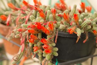 Succulent plant 4