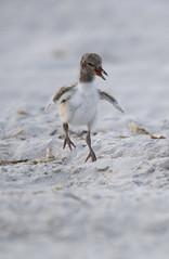 American Oystercatcher chick (suraj.ramamurthy) Tags: nikkor500mm nikond500 nikersonbeach longislandbeaches