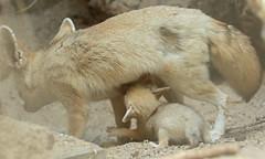 fennec artis BB2A0566 (j.a.kok) Tags: fox vos fennek fennec woestijnvos dessertfox artis animal africa afrika canine mammal zoogdier dier predator motherandchild moederenkind