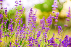 Worm light of summer (mikael_blue) Tags: flowers summer sunlight purple bokeh floral flower colours violet nature field beauty canon scented vibrant