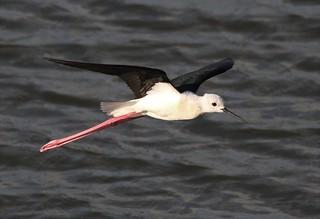 Black-winged Stilt ♂ (Himantopus himantopus)