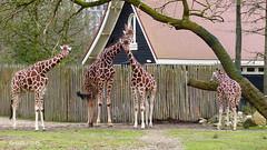 Giraffen in Blijdorp. (Cajaflez) Tags: zoo diergaarde blijdorp girafs giraffen coth coth5