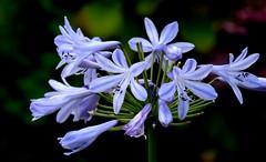 Blue Flower in Boscastle, England (Joseph Hollick) Tags: boscastle england flower blueflower