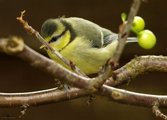 baby blue tit  (2) (Simon Dell Photography) Tags: castleton derbyshire peak district views nature landscapes simon dell photography 2018 summer countryside baby juv juvenile young cute fluffy blue tit tits bird wildlife garden fledgeling countryfile springwatch
