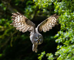 Great Grey Owl (Delboy Studios) Tags: red