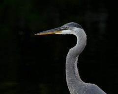 Great Blue Heron (KsCattails) Tags: blackbackground greatblueheron heron kscattails portrait shorebird