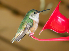 Hummingbird at feeder (annkelliott) Tags: alberta canada kananaskis sofcalgary nature wildlife ornithology avian bird birds hummingbird sideview feeder building bokeh outdoor spring 11june2018 canon sx60 canonsx60 annkelliott anneelliott ©anneelliott2018 ©allrightsreserved