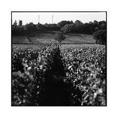 grapes 4 • chenove, burgundy • 2016 (lem's) Tags: grapes vineyard wine vin vignobles vignes raisin chenove bourgogne burgundy graflex speed graphic