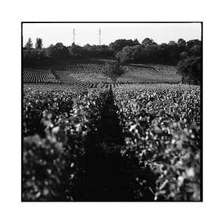 grapes 4 • chenove, burgundy • 2016
