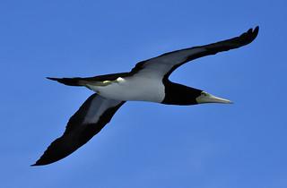 _DSC0287 Black gull