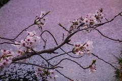 _DSC8685 (ilaria_gori) Tags: japan philosopherspath kyoto cherryblossom
