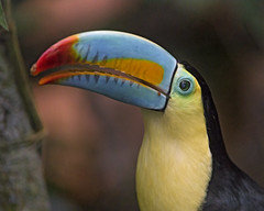 Next toucan portrait (Tambako the Jaguar) Tags: toucan bird bill colorful pretty portrait close profile papiliorama kerzers switzerlan nikon d5
