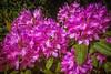 Rododendron (tagois) Tags: rododendron rhododendron hellerup øregårdsparken gentoftekommune copenhagen københavn danmark denmark