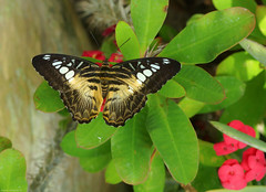 Parthenos sylvia - Clipper (Darea62) Tags: parthenossylvia clipper butterfly insect wildlife animal nature leaves wings tropical