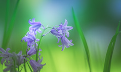 Bluebells (Dhina A) Tags: sony a7rii ilce7rm2 a7r2 a7r 135mm f28 t45 stf sony135mmf28stf sal135f28 smoothtransitionfocus minolta smooth soft silky bokeh bokehlicious apodization bluebells flowers flower