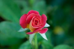 Rose (Phet Live) Tags: phet live 100mm zeiss f2
