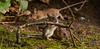 DSC_1475-1-2 (gupta.steve) Tags: gelbhalsmaus maus nagetier säugetier tier natur gruppe wildlife animal süs makro nikon tamron fotografie foto photo