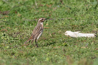 Whinchat-37