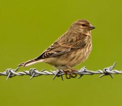 Linnet (xDigital-Dreamsx) Tags: bird wildlife nature rural perch fence field