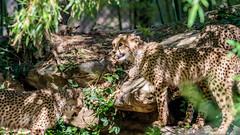 IMG_2335 (brian.a.stamper) Tags: acinonyxjubatus cheetah animal mammal