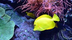 Monterey Bay Aquarium, California (wattallan594) Tags: united states america monterey california aquarium bay fish yellow tang clownfish anemone coral