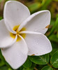 Delicate, beautiful, strong (risaclics) Tags: macro mondays make me smile allnatural macromademoiselle 60mmmacro 7dw frangipani may2018 nikond610 flora flores flower macromondays makemesmile
