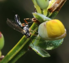 (1) cf ichneumon indet (BSCG (Badenoch and Strathspey Conservation Group)) Tags: insect hymenoptera ichneumon broom acm may
