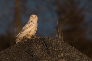 Early Evening Snowy Owl