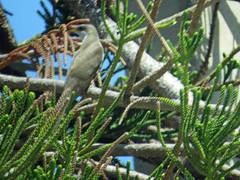 Yellow-billed Cuckoo, Key Colony, 050518 (simondbradfield) Tags: coccyzusamericanus yellowbilledcuckoo keycolony sx50