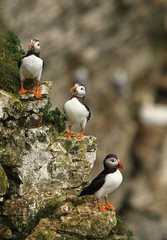 just the three of us (westoncfoto) Tags: rspb bempton