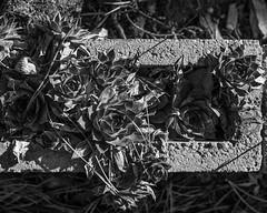 IMGP2004 (agianelo) Tags: cinder block concrete hens chicks peas plant monochrome bw blackandwhite