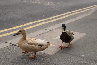 Mallards in Lancaster