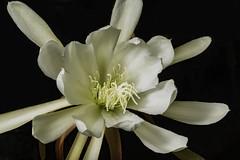 White Epiphyllum Flower In The Light (Bill Gracey 19 Million Views) Tags: epiphyllum epi fleur flower flor sidelighting yongnuo yongnuorf603n lastoliteezbox softbox softlight darkbackground floralphotography lakeside