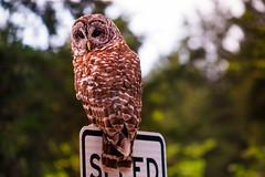 DSC03673 (philliphalper) Tags: barred owl