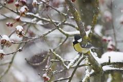 _MG_9040 (Foto Massimo Lazzari) Tags: fotomassimolazzari bird inverno neve