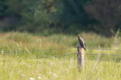 Cuckoo (oandrews) Tags: bird birds canon canon70d canonuk cuckoo cuculuscanorus nature naturereserve northamptonshire northants outdoors summerleys wildlifetrusts wildlifebcn wollaston england unitedkingdom gb