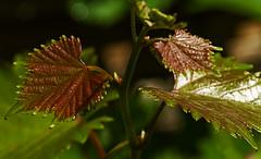 Weinblätter (lotharmeyer) Tags: wein natur blätter lotharmeyer nikon makro nature pflanzen red green bokeh glanz weinblätter