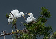 Snowy Egrets (tomsergio840) Tags: red snowy egret birds animals nature wildlife photography