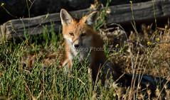 EdenLanding_060318_221 (kwongphotography) Tags: edenlandingecologicalreserve edenlanding wildlife wildlifephotography nature naturephotography eastbayregionalparks hayward california ca calif redfox fox unitedstates