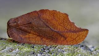 Totes Blatt (Drepanepteryx phalaenoides), das auch Blattlauslöwe genannt wird