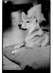 P63-2018-013 (lianefinch) Tags: argentique argentic analogique analog monochrome blackandwhite blackwhite bw noirblanc noiretblanc nb chien dog dogs chiens shiba inu fox renard animal nature