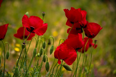 poppies.. (ckollias) Tags: beautyinnature closeup field flower flowerhead flowering plant focusonforeground fragility freshness greencolor growth inflorescence land nature nopeople outdoors petal plantstem poppies poppy red vulnerability
